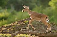 Impala fawn running along open ground, Chobe National Park, ©  David A. Ponton