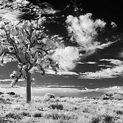 Lone Joshua - Joshua Tree National Park CA - Infrared Black & White