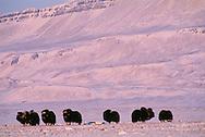 Muskox, Ovibos moschatus, Ellesmere Island, Nunavut, Canada, Arctic