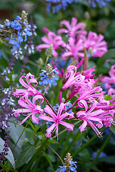 Nerine bowdenii AGM - Bowden Cornish lily - with Salvia uliginosa AGM and Plectranthus argentatus