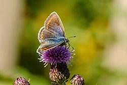Icarusblauwtje, Polyommatus icarus