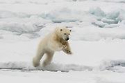 A polar bear, Ursus maritimus, jumping.