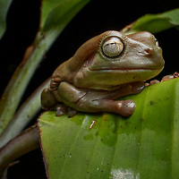 """Although widespread in and eastern Australia, White's Tree Frog (Ranoidea caerulea) is uncommon in New Guinea, being found only in the savannahs and subtropics of the extreme southern coast. This large frog, sometimes affectionately referred to as the Dumpy Tree Frog, has become popular in the pet trade due to its docile behavior. This """"tameness"""" is likely due to the frog's natural defenses: it can secrete a toxic compound from its skin when disturbed. While not dangerous to humans, this substance has been proven fatal to some insects and may be effective at protecting the frog from biting flies as well as larger predators. Wasur National Park, Papua, Indonesia (New Guinea)."""