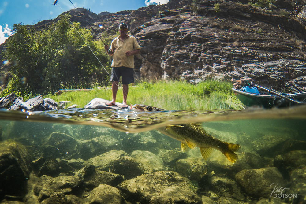 A rare pikeminnow (aka squawfish) takes a dropper on the Middle Fork of the Salmon.
