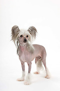 Ladies Kennel Association<br /> 2008 Championships<br /> Hairless Chinese Crested<br /> Owner Sharon Roberts