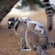 Ring-tailed Lemur, (Lemur catta) ENDANGERED SPECIES.Adult and albino baby. Madagascar.
