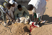At the end of the month of Ramadan, the Muslim fasting period, some of the families in D'jimia Ishakh Souleymane's block in the Breidjing Refugee Camp celebrated the festival of Eid al-Fitr by banding together to buy a goat, which they then slaughtered (shown here). Later that day, the refugee families split up into groups of men and women who feasted, separately, on aiysh and goat-meat soup. Hungry Planet: What the World Eats (p. 62).
