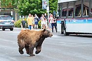 A bear runs across Durant Avenue after spending the day in a nearby tree in Aspen, Colorado.