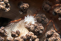 Egg Cowrie Feeding on Soft Coral<br /> <br /> Shot in Indonesia