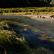 Alaskan Brown Bear (Ursus middendorffi) Female with her three young cubs walking along rivers edge insearch of salmon. Katmai National Park. Alaska. Summer.