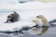 A polar bear (Ursus maritimus) exploding out of the icy water to attack a young bearded seal (Erignathus barbarous) resting on the ice, Spitsbergen, Svalbard, Norway