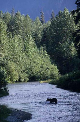 Alaskan Brown Bear, (Ursus middendorffi) In river. Southeast Alaska.