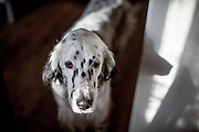 "English Setter ""Rudy"" am 30.11. 2019 in Lysa nad Labem, (Tschechische Republik).  Rudy wurde Anfang Januar 2017 geboren."