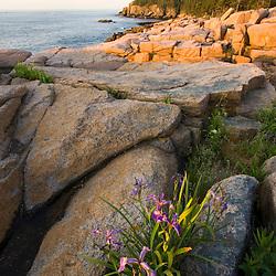 Blue flag iris blooming in between rocks Maine USA