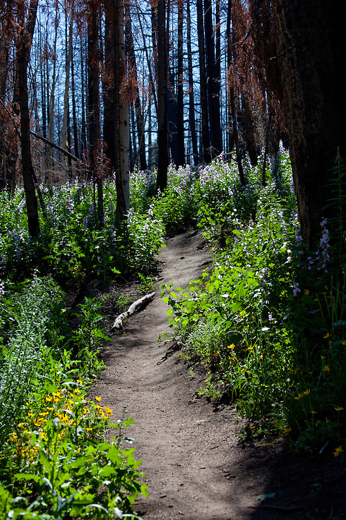 Wildflowers line a backcountry trail outside of Sun Valley Idaho.  Licensing and Open Edition Prints.