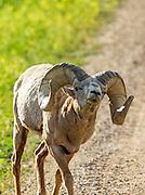 Bighorn Ram in habitat
