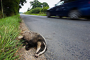 Car speeds past dead badger, roadkill, Sussex, England