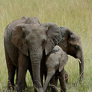 African Elephant ( Loxodanta africana) Mother with young.  Masai Mara National Park. Kenya. Africa.