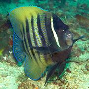 Six Banded Angelfish inhabit reefs. Picture taken Komodo, Indonesia.