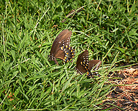 Pair of Frisky Spicebush Swallowtail Butterfies in the Grass.. Image. taken with a Leica CL camera and 55-135 mm lens
