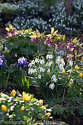 Galanthus nivalis - snowdrops, Helleborus - Hellebores, Iris reticulata 'Harmony' and Eranthis hyemalis - Winter aconites