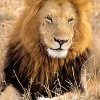 Africa, Kenya, Maasai Mara. Adult male lion of the Mara.