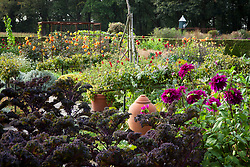 The potager at De Boschhoeve. Kale 'Red Bor' and Dahlia 'Thomas A. Edison' in the foreground. Dahlia 'David Howard' in the distance
