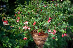 Fuchsia 'Swingtime' AGM in a hanging basket
