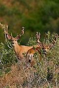 Trophy mule deer bucks with antlers in summer velvet