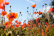 Endless field with flowering red poppies. Photographed in Italy, Tuscany