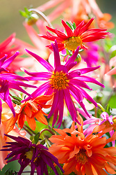 Cactus dahlia seed mix