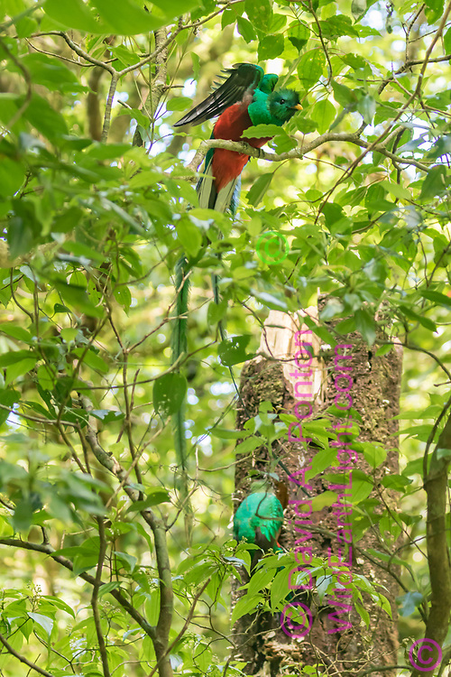 Quetzal adult male stretches his wings while his mate  workson a nest cavity in a dead tree, Monteverde Cloud Forest Reserve, Costa Rica, © David A. Ponton
