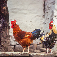 Roosters in a village in Nepal