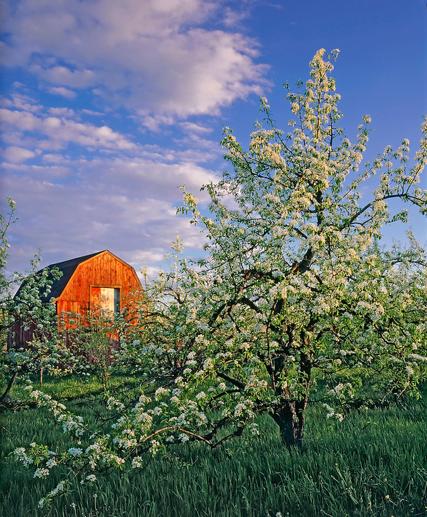 Red apple barn & orchard blooming in spring, Hollis, NH