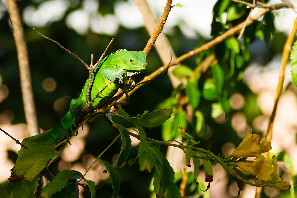 A juvenile Green Iguana (Iguana iguana) uses the treetops for safety at Pools and Pavilions on St. Thomas, USVI.