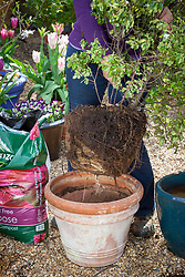 Potting up a pot bound shrub in spring -  pittosporum