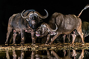 Male cape buffalo (Syncerus caffer) displaying in Zimanga Private Reserve, South Africa.