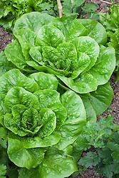 Cos Lettuce 'Parris Island' (Romaine)