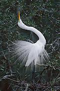 Great Egret displaying during mating season