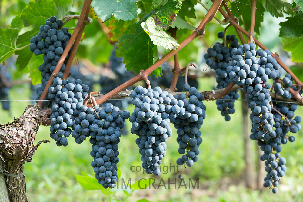 Black grapes for red wine on ancient vine, vineyard Chateau Angelus famous wine St Emilion Grand Cru, France
