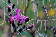 Early morning dew on ironweed - Mississippi
