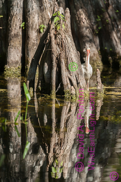 White ibis looks back at obsever from behind a cypress knee, Big Cypress National Preserve, FL, © David A. Ponton