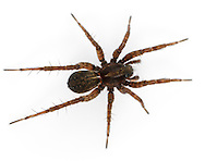 Pardosa pullata is a very common wolf spider especially on open tussocky grassland often abundant in damper areas.
