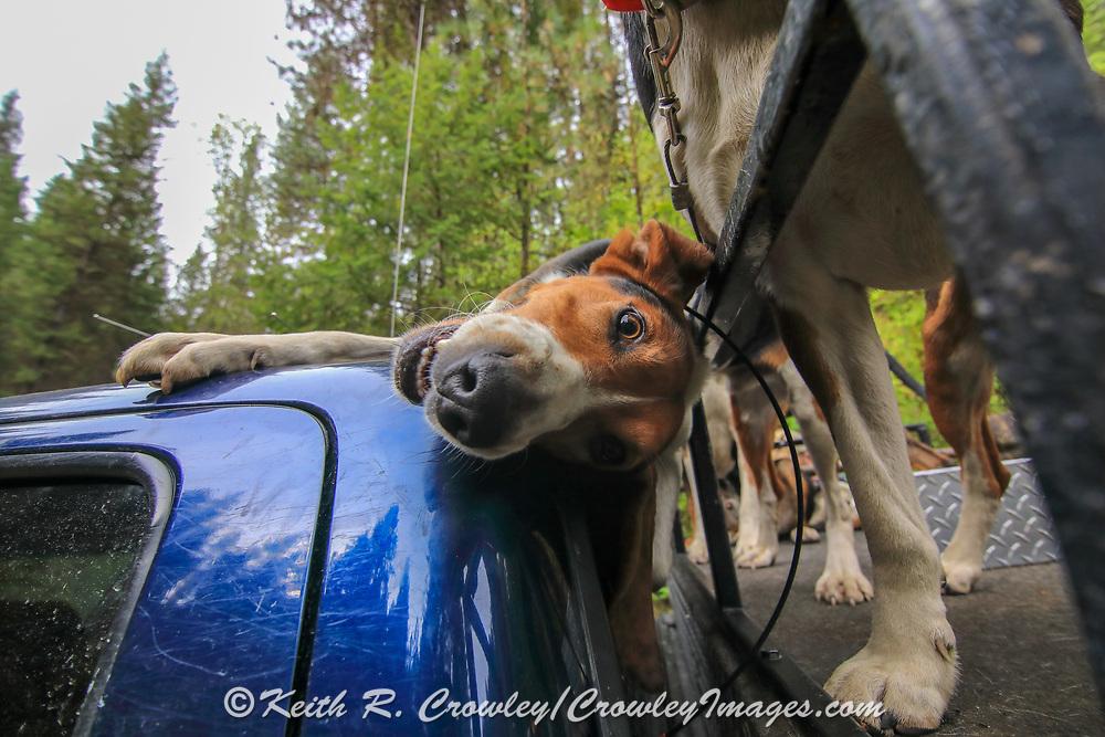 Walker coonhounds during a 2019 Idaho spring black bear hunt
