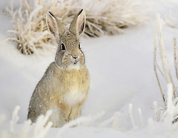 December 18, 2018 - Sweetwater, WY, United States of America - A mountain cottontail in the snow at Seedskadee National Wildlife Refuge in Sweetwater County, Wyoming. (Credit Image: © Tom Koerner via ZUMA Wire)