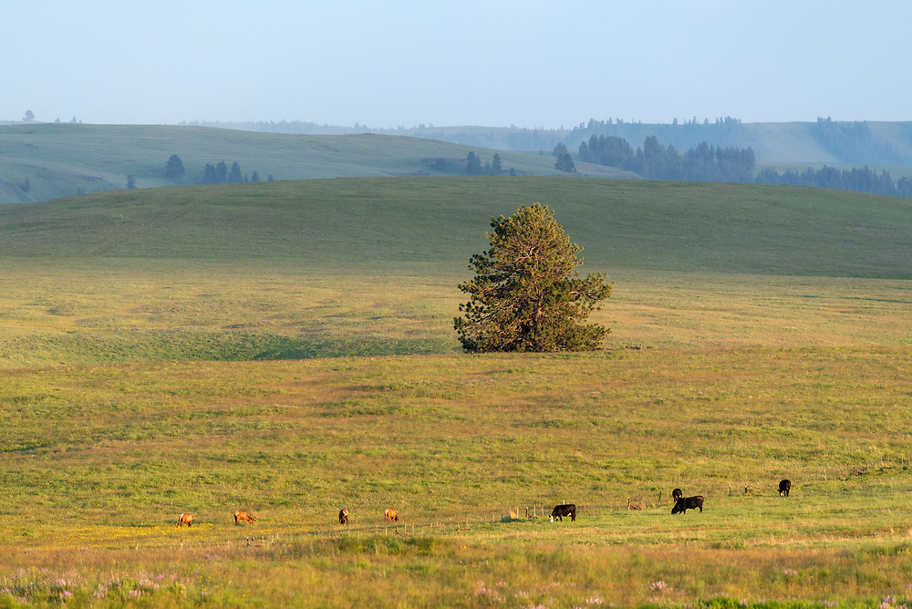 Cows and elk grazing on Oregon's Zumwalt Prairie.