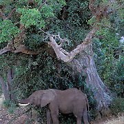 African Elephant, (Loxodonta africana)  Browsing on vegetation. Masai Mara Reserve. Kenya.