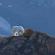 Polar Bear Svalbard, Norway