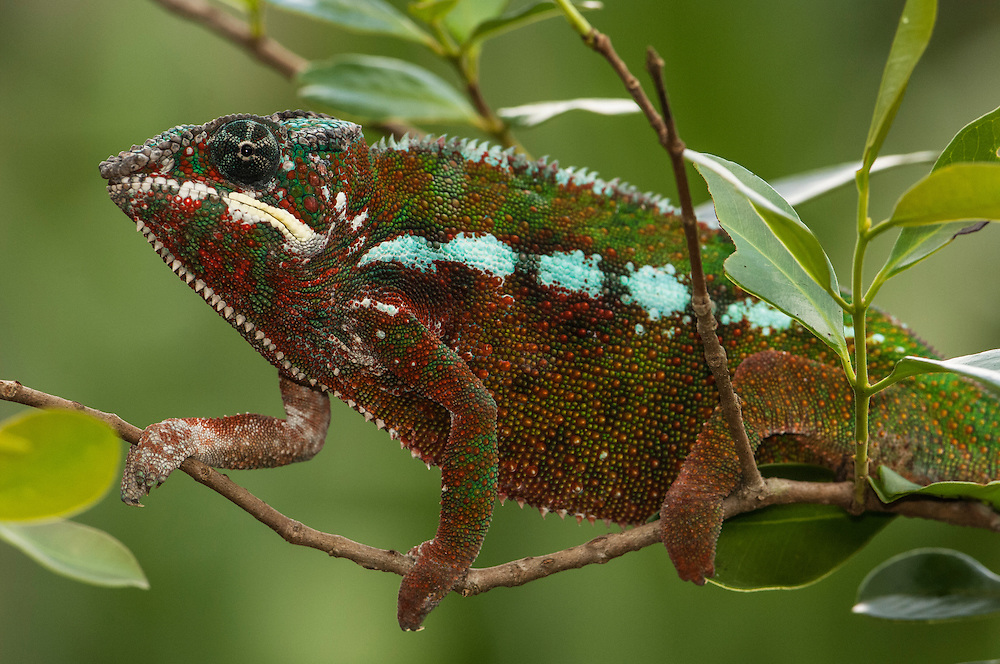 Panther chameleon (Furcifer pardalis)<br /> Tamatave, Eastern rainforst of MADAGASCAR<br /> This is a medium to large species growning up to 520mm. It is a true chameleon as it possesses a prehensile tail. This plus its opposable, fuxed fingers help it adapt to its arboreal life. Pardalus lacks occipital lobes and without real nasal appendages but has a conspicuous protruding rostral border. It is renowned for the high number of regional color morphs and dramatic color changes. Most dramatic color changes observed in courting males. Oviparous - female laying 12-46 eggs, buried in the ground. Young hatch after 159 - 384 days and measure +-55mm.<br /> RANGE: Locally abundant in forests found in the north and north east of Madagascar but also in open habitats  as they are able to inhabit degraded secondary forest areas.<br /> Two species of Panther chameleon are also found in the Comores and one in Reunion Island.<br /> Chameleons are well-known for their special adaptions: Ability to change color rapidly to either match their surroundings or to reflect their mood. They have the capacity to move their turreted eyes independently of each other which allows them to look in different directions simultaneously. They also capture their prey with the rapid firing of their tongue which can extend to approximately half of their body length and is ended with a kind of gluing hammer.<br /> Furcifer pardalis is CITES 11 classification and is allowed the CITES Animal Committee to be exported from Madagascar - mainly for the pet trade.<br /> There are more than 150 species world wide and over half of those are only found in Madagascar. All species on the island are Native.