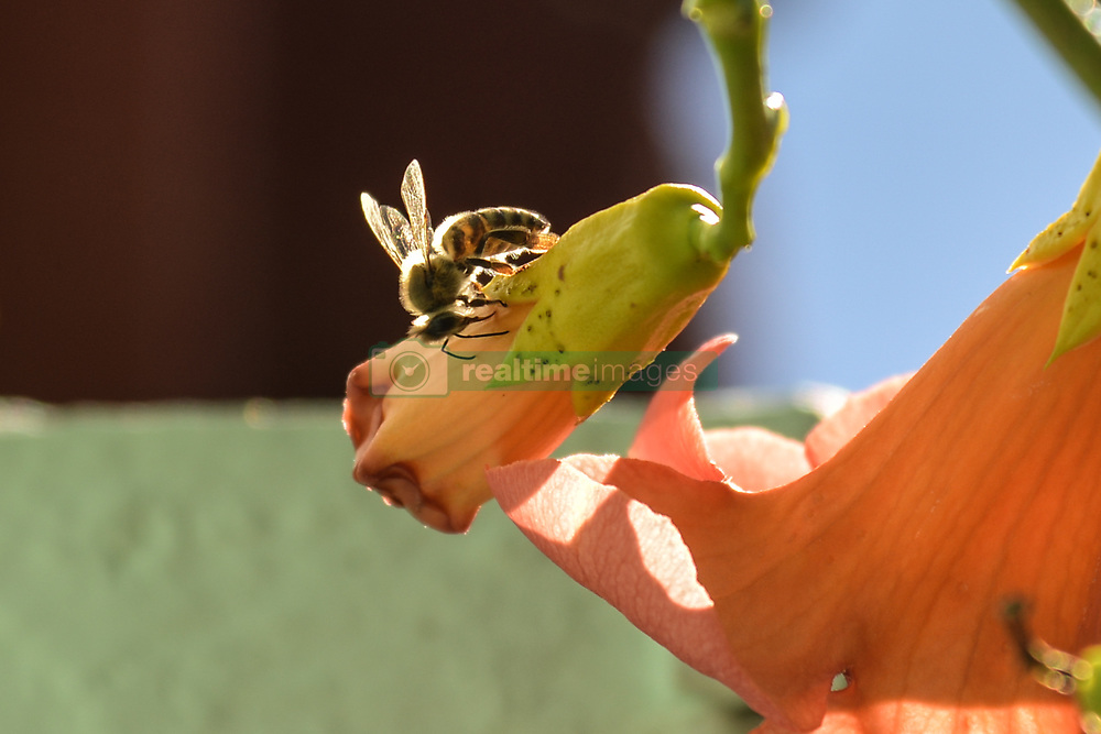 July 29, 2017 - Nea Artaki, Euboea, Greece - Wasps on blossoms,Greece on July 30 , 2017  (Credit Image: © Wassilios Aswestopoulos/NurPhoto via ZUMA Press)